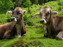 Alpen mit Kühen Stockfotografie