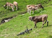 Alpen symbiosis Stock Images