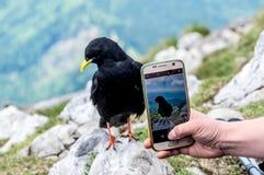 Alpendohlevogel, der vor einem intelligenten Telefon für Foto aufwirft Lizenzfreies Stockbild
