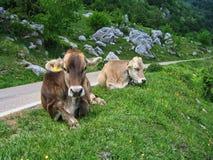 Alpenkühe Lizenzfreie Stockbilder