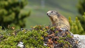 Alpenmurmeltier in den französischen Alpen Stockbilder