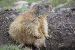 Alpenmurmeltier in der natürlichen Umwelt dolomites stockfotos