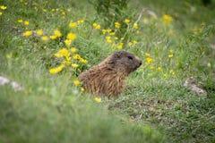 Alpenmurmeltier in der natürlichen Umwelt dolomites lizenzfreies stockfoto