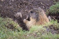 Alpenmurmeltier in der natürlichen Umwelt dolomites Italien lizenzfreie stockfotografie