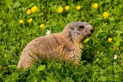 Alpenmurmeltier groundhog, das auf Blumenweide einzieht Lizenzfreie Stockfotografie