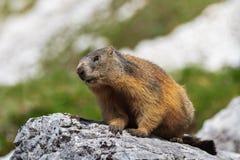 Alpenmurmeltier (Marmota Marmota) auf Felsen Stockbilder