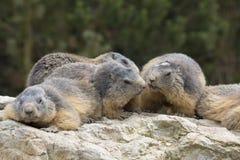 Alpenmurmeltier, Marmota Marmota, eins der großen Nagetiere Lizenzfreie Stockbilder