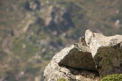 Alpenmurmeltier in Pyrenäen Stockfotografie