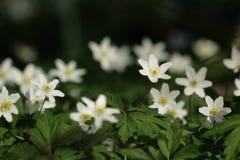 Alpenrose Stock Image