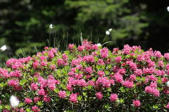 alpenrose photos libres de droits