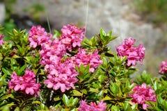 Alpenrose Стоковые Изображения RF