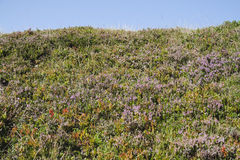 Alpenrose Immagini Stock