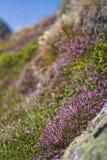 Alpenrose Fotografia Stock Libera da Diritti