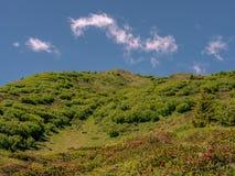 Alpenrose bush in Spring in the Swiss Alps - 2 Stock Photo
