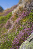 Alpenrose. Flowering alpenrose on a mountainside royalty free stock photo