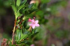 Alpenrose peloso & x28; Hirsutum& x29 del rododendro; Fotografie Stock