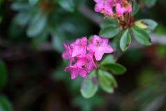 Alpenrose peloso & x28; Hirsutum& x29 del rododendro; Immagini Stock