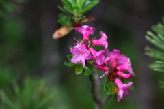 Alpenrose peloso & x28; Hirsutum& x29 del rododendro; Immagini Stock Libere da Diritti