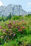 Alpenrose peloso nelle alpi tedesche Fotografie Stock