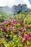 Alpenrose peloso nelle alpi tedesche Immagine Stock