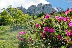 Alpenrose peloso nelle alpi tedesche Immagine Stock Libera da Diritti
