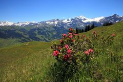 Alpenrose plant Royalty Free Stock Images
