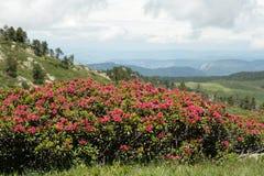 Alpenrose que floresce em Pyrenees, França Fotos de Stock