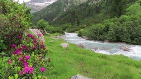 Alpenrose Rhododendron ferrugineum in bloom at Schlegeis valley Tirol in Austria. Hiking trail towards Italy stock video