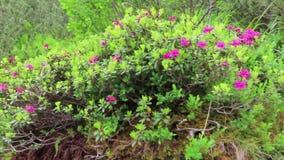Alpenrose Rhododendron ferrugineum in bloom at Schlegeis valley Tirol in Austria. Hiking trail towards Italy stock video footage