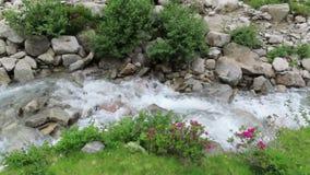 Alpenrose Rhododendron ferrugineum in bloom at Schlegeis valley Tirol in Austria. Hiking trail towards Italy.  stock footage