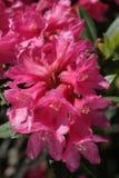 Alpenrosebloem royalty-vrije stock afbeeldingen