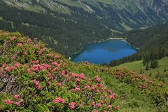 Alpenrosen και λίμνη Arnensee Στοκ Εικόνα