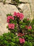 Alpenrosen Immagini Stock Libere da Diritti