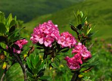 Alpenrosen Royaltyfri Bild