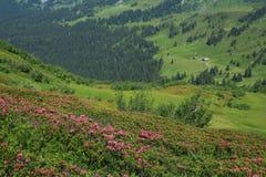 Alpenrosen e prato verde Fotografia Stock