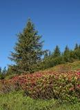 Alpenrosen ed abete rosso Fotografia Stock Libera da Diritti