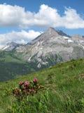 Alpenrosen, fiori della montagna, rododendro Immagini Stock Libere da Diritti