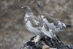 Alpenschneehühner (Lagopus mutus) Stockfotos