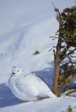 Alpenschneehuhn im Schnee Stockfotografie