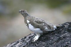 Alpenschneehuhn (Lagopus mutus) Lizenzfreies Stockfoto