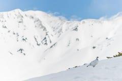Alpenschneehuhnvogel Stockbild