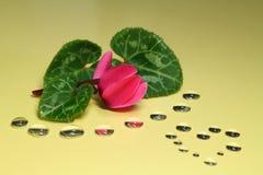 Alpenveilchen blüht und die Tropfen während des Valentinstags #2 Stockbild