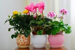 Alpenveilchen, rosafarben und Pelargonie auf Hintergrund von weißen Vorhängen Lizenzfreie Stockfotos