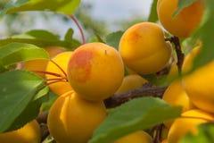 Alperces maduros em uma filial de árvore Fotos de Stock Royalty Free