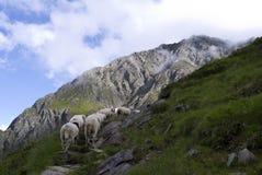 Alpes le Tirol Autriche d'entraînement de bétail de moutons Image libre de droits