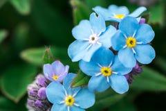 Alpestris del miosotis dei fiori Fotografia Stock Libera da Diritti