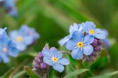 Alpestris del miosotis dei fiori Fotografia Stock