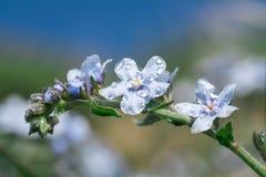 Alpestris del miosotis dei fiori con goccia Fotografia Stock Libera da Diritti