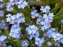 Alpestris del miosotis o fiori alpini del nontiscordardime fotografia stock libera da diritti