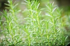 δεντρολίβανο φυτών χορτ&alpha Στοκ Εικόνες